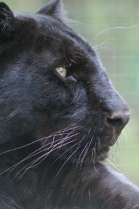 panther animal totem    Dreamt of a very vivid black panther a week and 1/2 ago. Interesting...