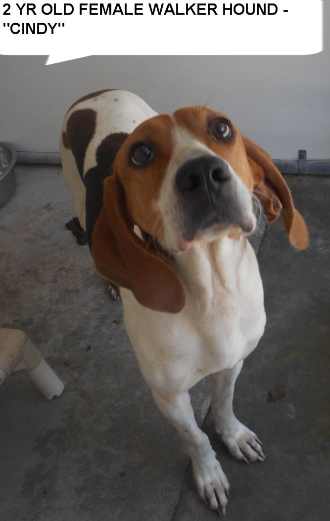 Cindy is a 2 yr old walker hound girl  who would love hang out with you.  She needs to get out of the shelter and be someones special dog. Please don