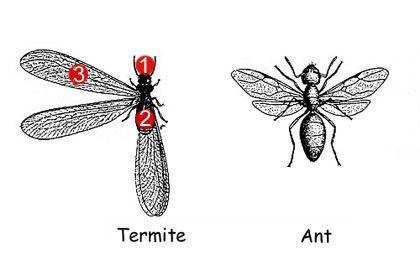 Winged Termites & Ants