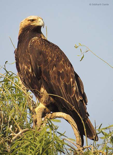 Eastern Imperial Eagle Aquila heliaca - Adult