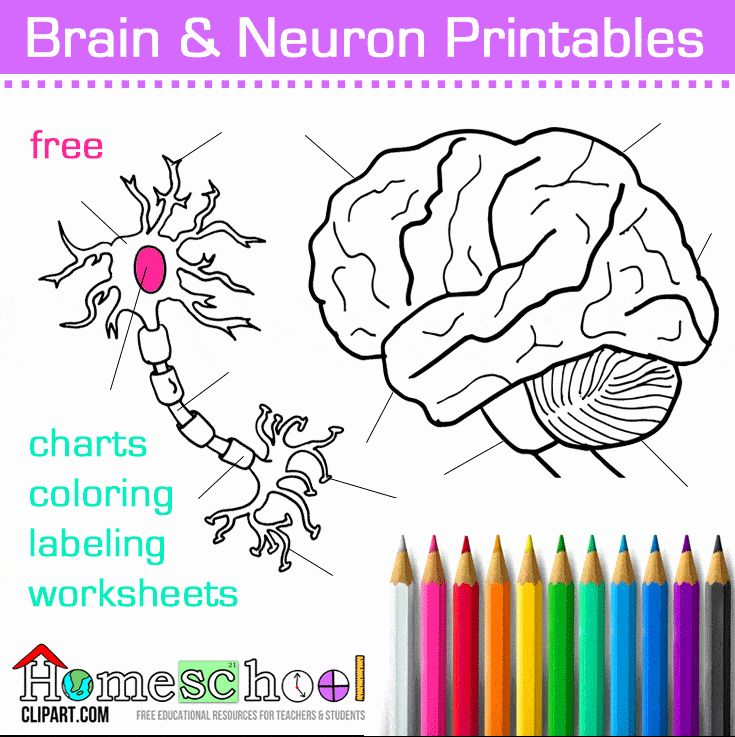 Human Brain Coloring Book Awesome Brain Neuron Coloring Pages The Crafty Classroom In 2020 Neurons Brain Neurons Human Brain