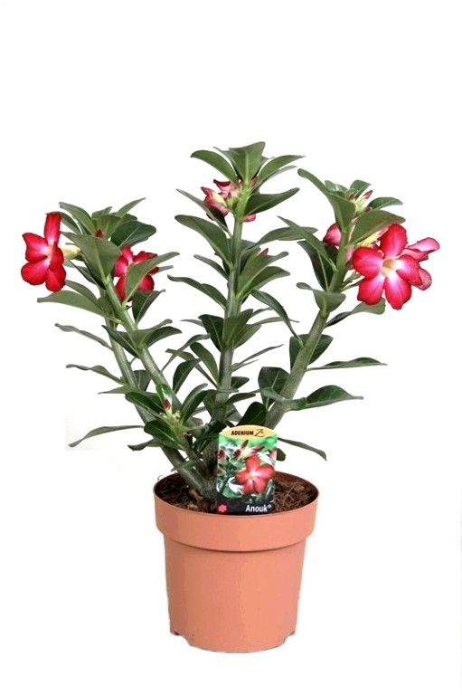 virágdísznövény | virágdísznövények - Fitoland.hu - Szokotra palackfa (Adenium obesum)