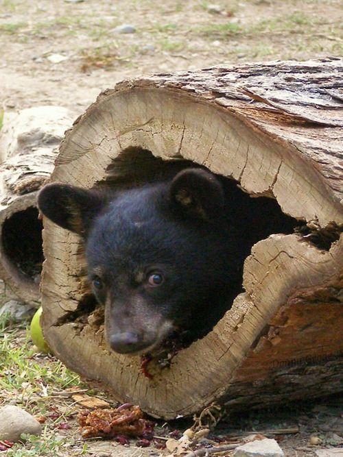 Bear cub, hide and seek