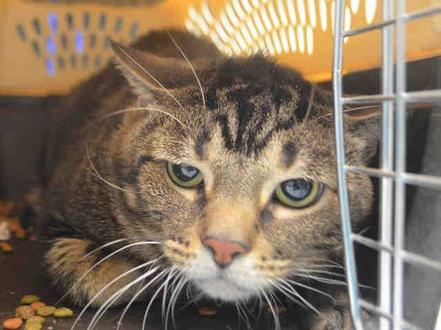 SAM - A1098033 - - Manhattan  Please Share:***TO BE DESTROYED 12/01/16*** SHY AND GENTLE WHEN COMFORTABLE AT HOME, POOR SAME IS NOW NEW HOPE RATED AFTER OWNER DUMPED HIM FOR MOVING! -  Click for info & Current Status: http://nyccats.urgentpodr.org/sam-a1098033/