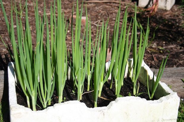 Spring Onions Make A Great Companion Plant For Carrots 640 x 480