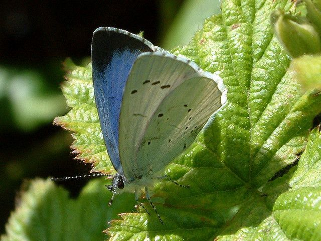 https://flic.kr/p/4U2gmg | Holly Blue ( Celastrina argiolus ) | The Broad black tip to the forewing, identifies this Holly Blue as a female.