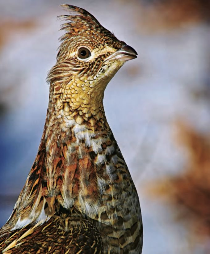 Tips and Tactics: How to Hunt Grouse -- Outdoor Life - Hunting by Andrew McKean and David Draper