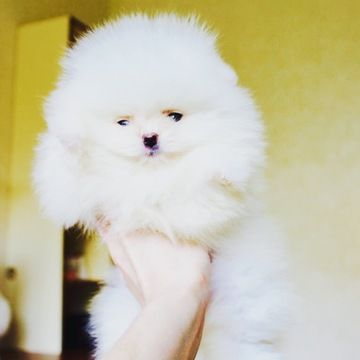 Pomeranian puppy for sale in NEW YORK, NY. ADN-58335 on PuppyFinder.com Gender: Female. Age: 11 Weeks Old