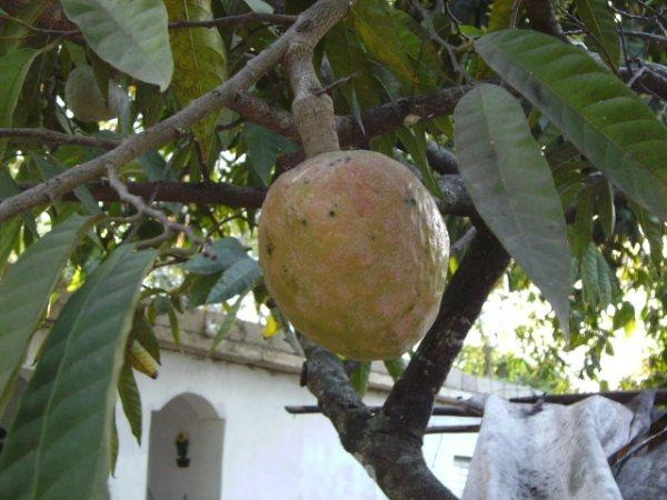 10 Best images about Dominican fruit on Pinterest | Green ...
