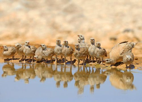 Sand-partridge Family2 by Shlomo Waldmann