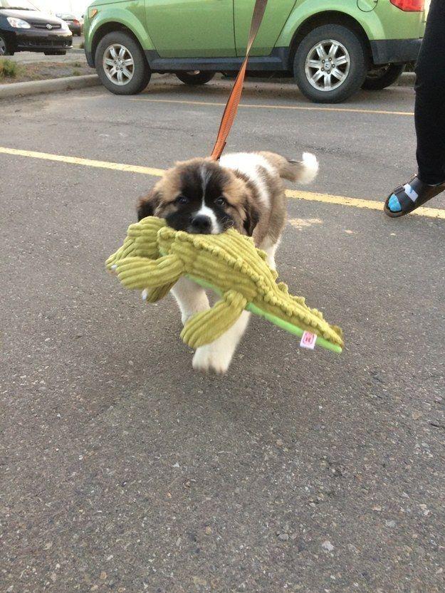 Este cachorro que lleva a su cocodrilo de peluche preferido A TODOS LADOS.