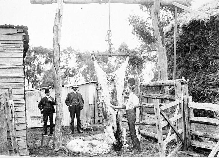 Man butchering a bullock, Warracknabeal District, Victoria, circa 1905 - Museum Victoria