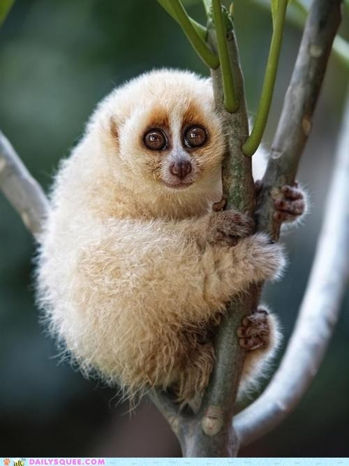 Fluffy Loris Climber. They look like they would get startled a lot at the slightest thing