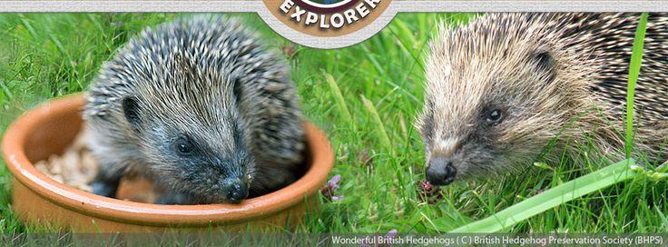 Ways To Help Hedgehogs