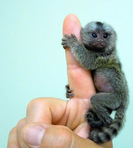 AWWWW!!!!! Tiny monkeys are adorable.