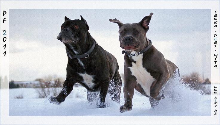 running in the snow   #Cane #Corso: Yule Puppy, Corso Newfamilymember, Snow Cane, Italian Mastiff, Corso Italian, Cane Corso, Farmercase Cane