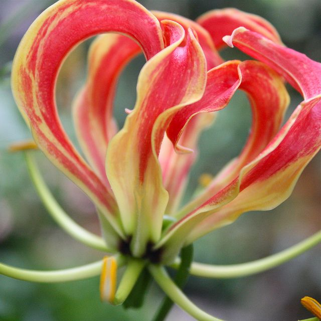 Exotic-looking with yellow and red flower petals that curl backward like a flash of brilliant flames, gloriosa lily plants will add unique interest to your garden or indoor setting. Learn more about the care of gloriosa lilies here.