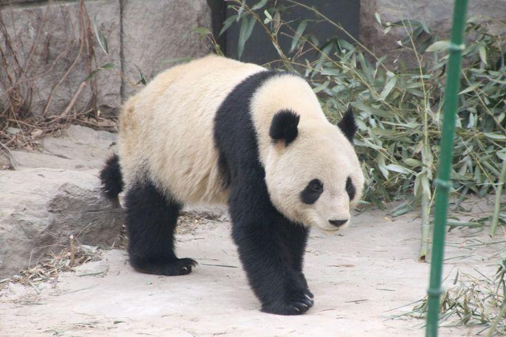 Panda #panda #beijing