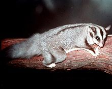 Squirrel glider - Wikipedia, the free encyclopedia