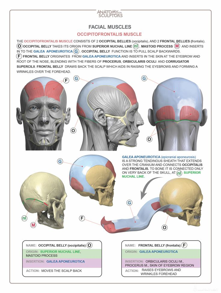 57 Best Anatomy Head Images On Pinterest Faces Anatomy Drawing