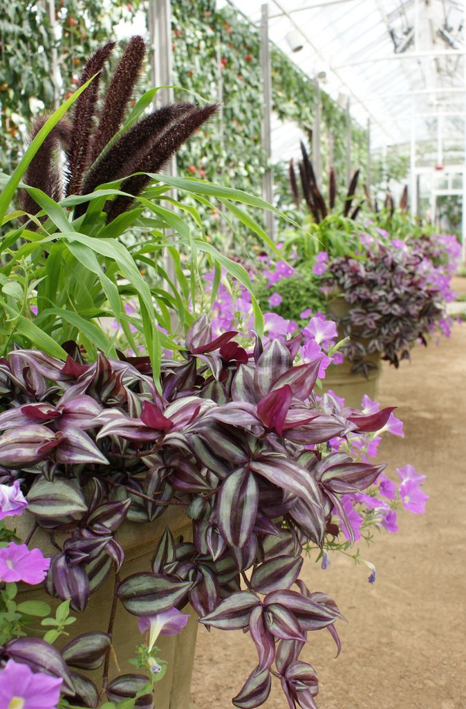 17 best images about 1 tradescantia on pinterest plants for Tradescantia zebrina
