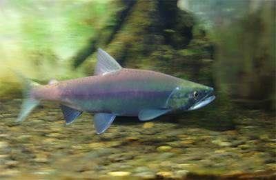 Путешествие разновидности лосося   кеты