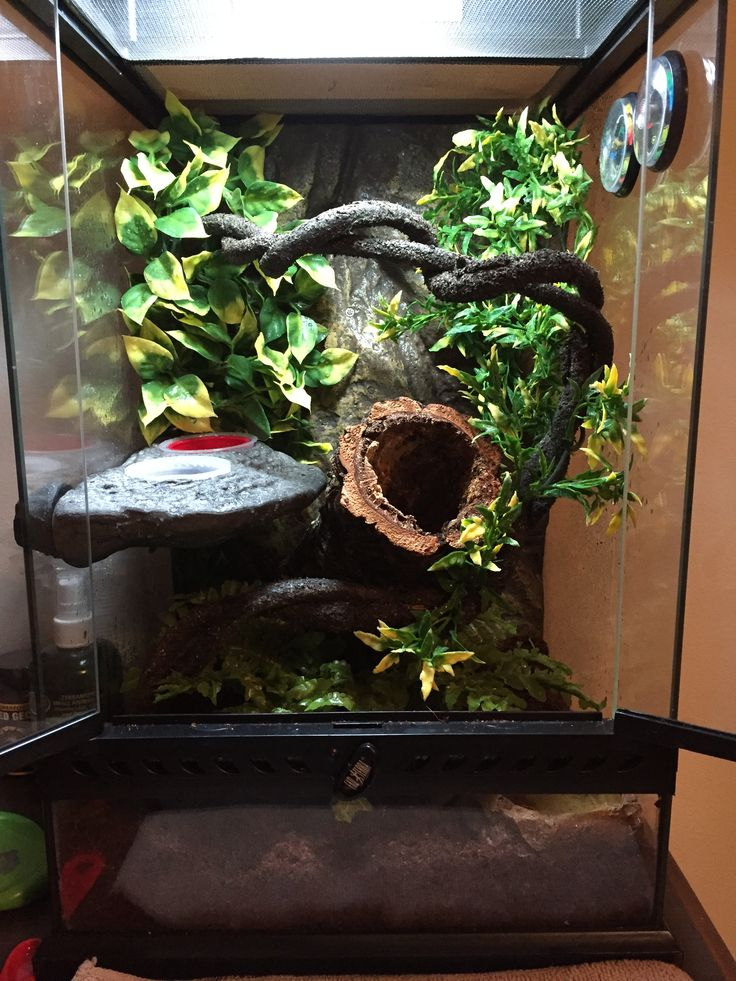 My son's 12th birthday present is a Crested Gecko. This is his 12x12x18 setup