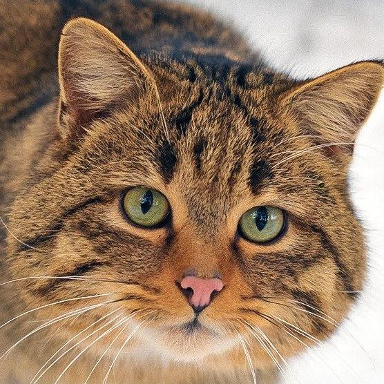 Дикие коты, о которых вы наверняка ничего не слышали