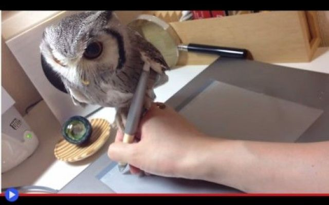 Fare la grafica col gufo sulla penna #animali #uccelli #gufi #giappone #africa