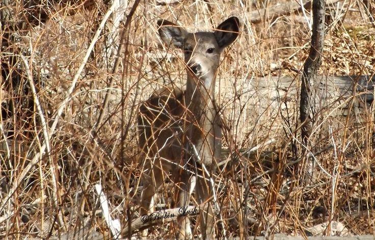 The Deer of Ojibway