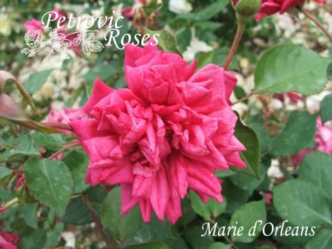 Marie d'Orleans | Petrovic Roses