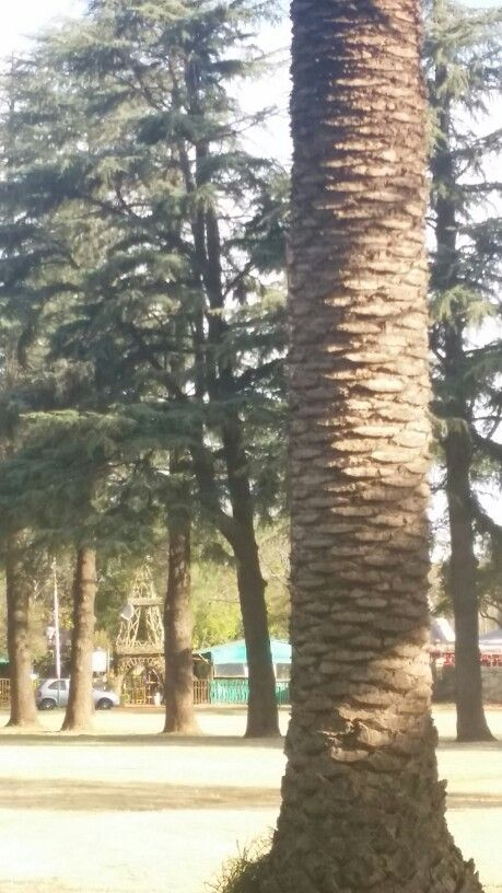 Palmtrees in the Bult park Potchefstroom with Paljas Backpackers lodge in background