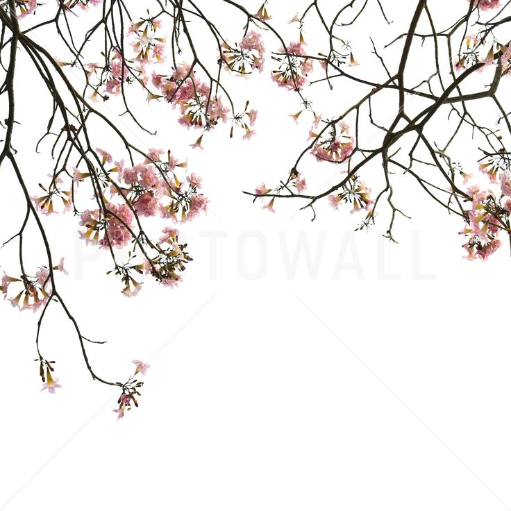 Cherry Branches - Fototapeter & Tapeter - Photowall