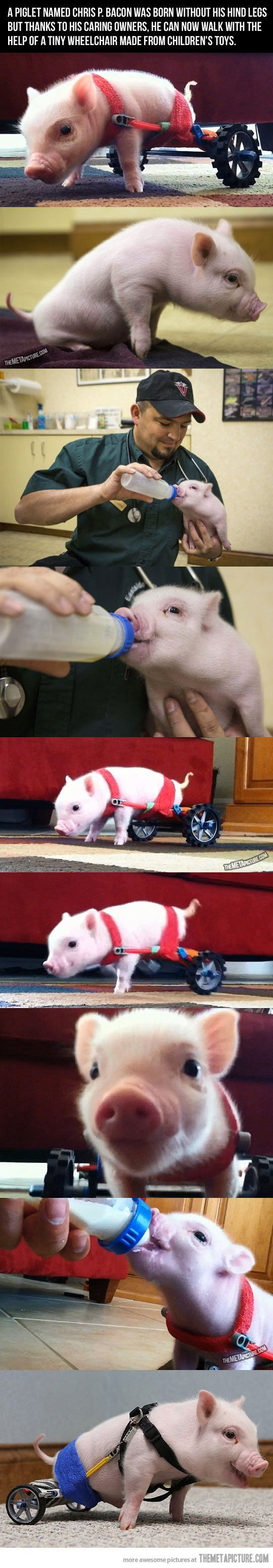 Chris P. Bacon, the piglet who couldn't walk…