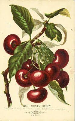 vintage fruit botanical illustration cherries