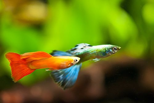 17 best images about fancy guppy on pinterest live fish for Fancy guppy fish