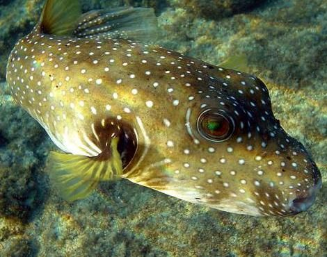 Puffer fish facts for kids puffer fish diet habitat for Puffer fish diet