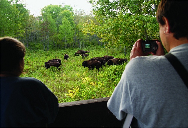 Watching the bison in Riding Mountain National Park, Manitoba, Canada.