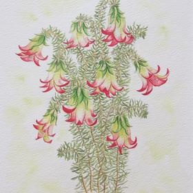 Original pen, ink and watercolour on German rag paper for sale. Common Heath by Judy LaMonde - an Australian bush flower - botanical painting - view http://www.artinvesta.com/artwork/65 - or make an offer. See more in the gallery www.artinvesta.com