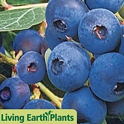 17 Best Images About Blueberry Garden On Pinterest