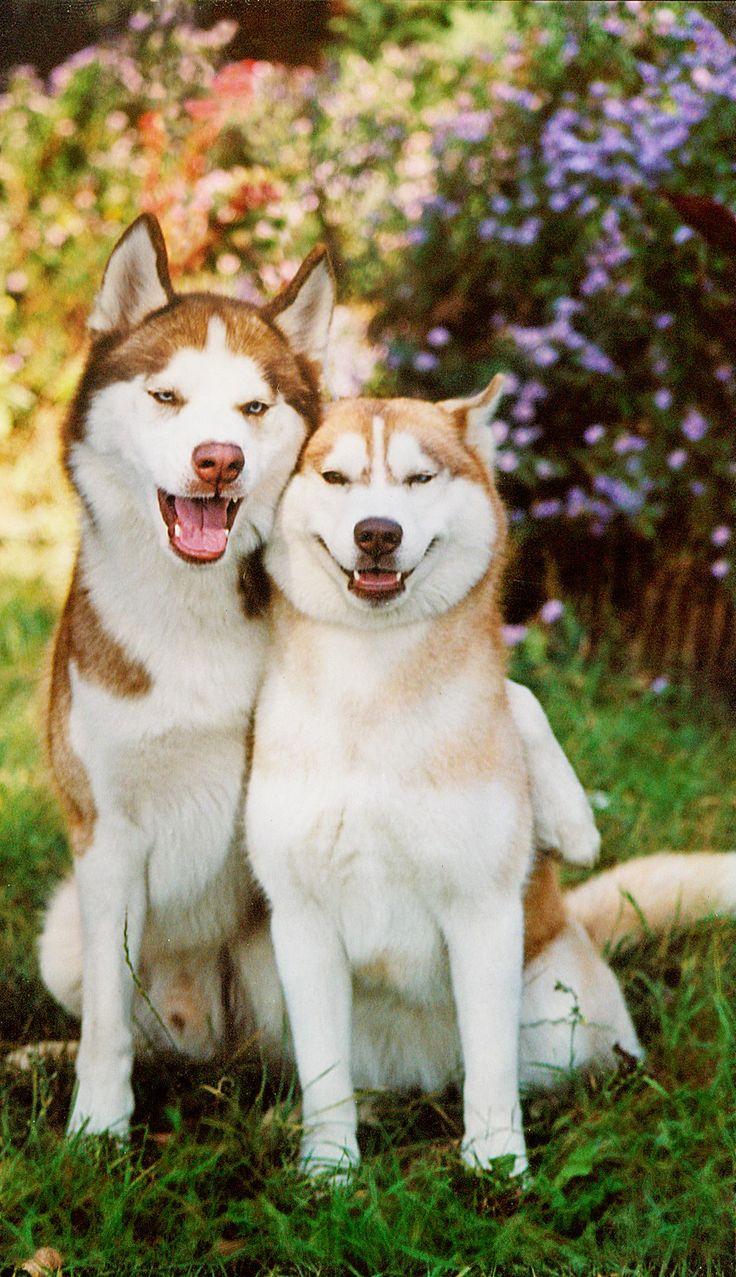 best Siberian Huskies images on Pinterest Siberian huskies