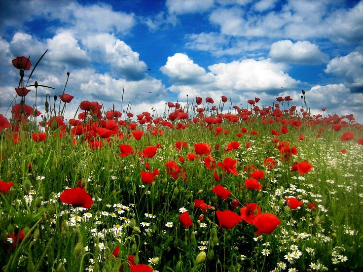 Field of poppies....childhood memories...: Changing Desktop, Wildflowers, Childhood Memories, Red Poppies, Poppies Fields, Art, Gardens, Red Blue, Wild Flowers