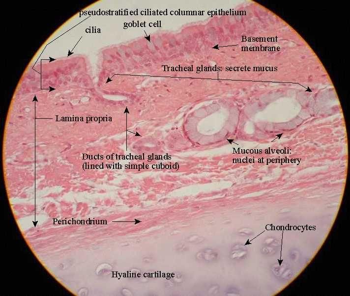 histology trachea | tracheal histology | { Histology & A&P ...