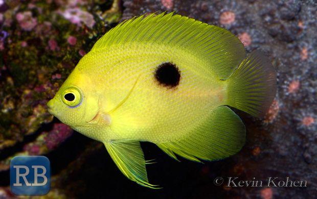 Rare centropyge narcosis rare reef saltwater fish for Rare saltwater fish