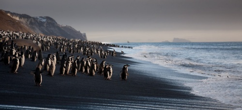 WILD    by Robert van Koesveld    The volcanic sands of Bailey Head on Deception Island in the South Shetlands where 100,000 chinstrap penguins leave their nests to find food.