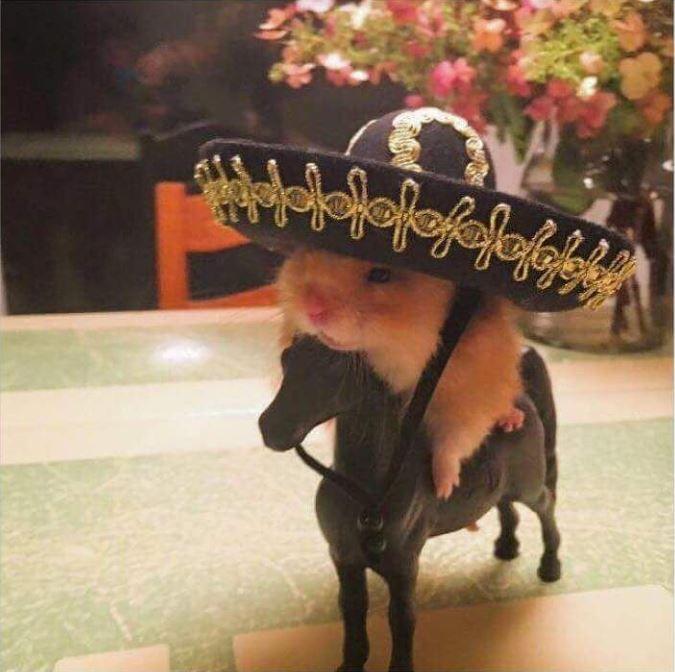 sombrero hamster