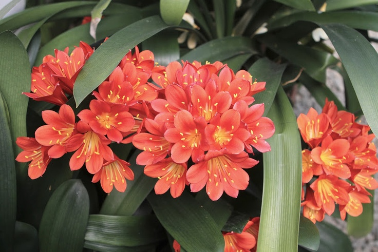 Clivia is a genus of durable shade plants in the Amaryllis family, native to South Africa.