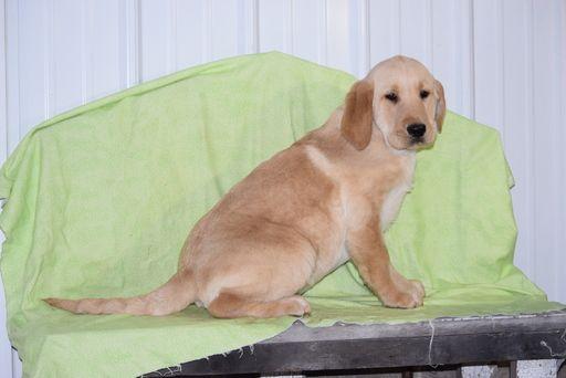 Golden Labrador puppy for sale in FREDERICKSBURG, OH. ADN-63639 on PuppyFinder.com Gender: Male. Age: 13 Weeks Old