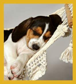 Beagle - Cat Nap #06642