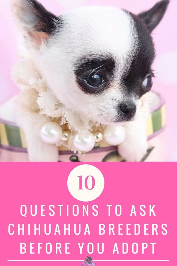 10 Qutestions To Ask Before You Adopt A Chihuahua Puppy From A Breeder Training Your Dog Chihuahua Chihuahua Breeders